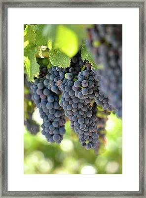 Red Grapes On The Vine Framed Print by Brandon Bourdages