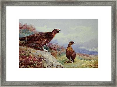 Red Grouse On The Moor, 1917 Framed Print by Archibald Thorburn