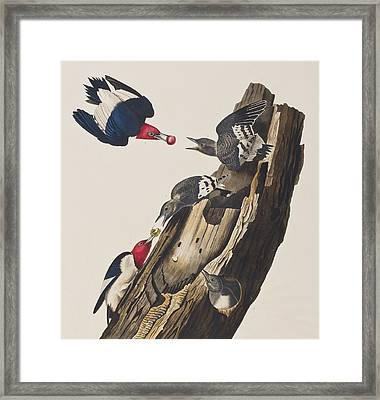 Red Headed Woodpecker Framed Print by John James Audubon