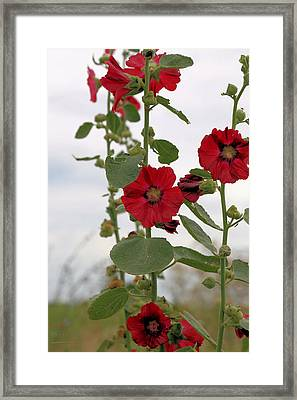 Red Holly Hocks Framed Print by Theresa Campbell