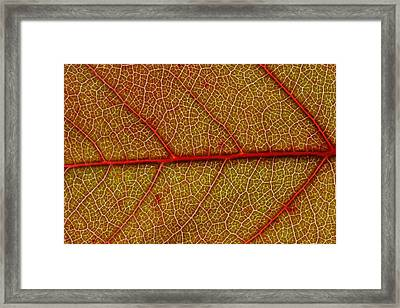 Red Leaf Macro Framed Print by Frank Tschakert