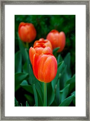 Red Lilies Framed Print by Az Jackson