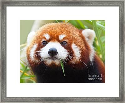 Red Panda Framed Print by MotHaiBaPhoto Prints