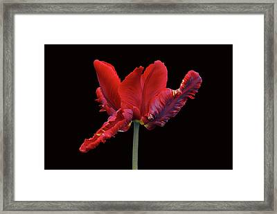 Red Parrot Tulip Framed Print by Sandy Keeton