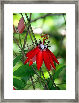 Red Passion Framed Print by Leo Miranda