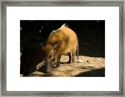 Red River Hog At Omahas Henry Doorly Framed Print by Joel Sartore