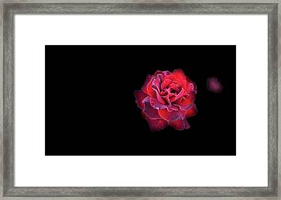 Red Rose Framed Print by Nat Air Craft