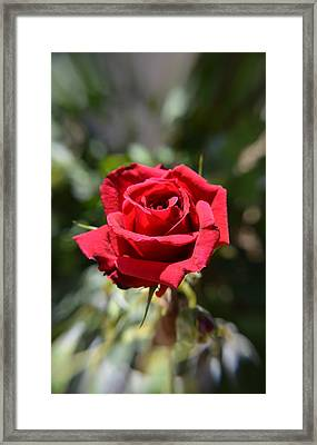 Red Rose Portrait Framed Print by Aimee L Maher Photography and Art Visit ALMGallerydotcom
