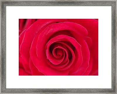 Red Rose Swirls Framed Print by Romina D