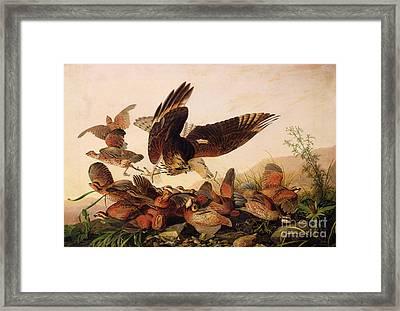 Red Shouldered Hawk Attacking Bobwhite Partridge Framed Print by John James Audubon