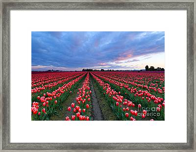 Red Sky Over Tulips Framed Print by Mike Dawson