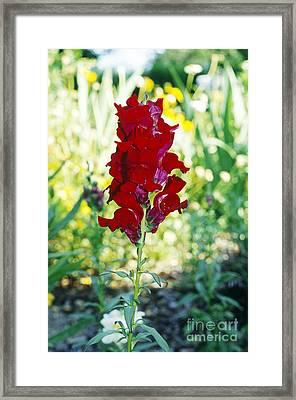 Red Snapdragon Framed Print by John Kaprielian
