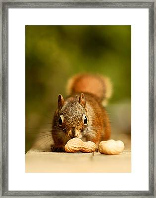 Red Squirrel   Framed Print by Cale Best