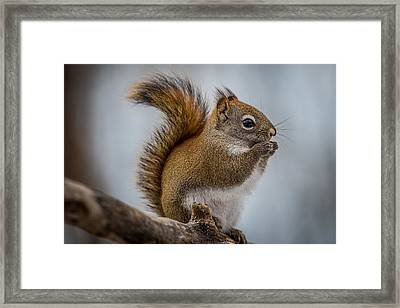 Red Squirrel Framed Print by Paul Freidlund