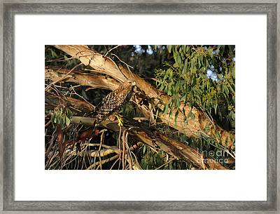 Red Tail Hawk Camouflage Framed Print by Marc Bittan