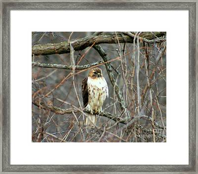 Red Tail Hawk Framed Print by Kay Novy