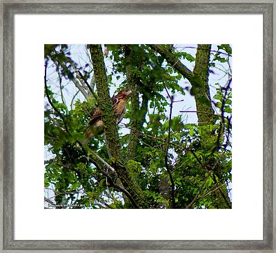 Red Tail Hawk Framed Print by Matt Steffen