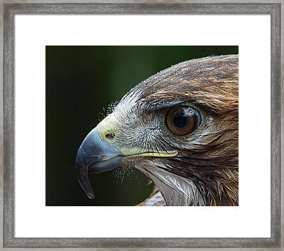 Red Tail Hawk Misted Framed Print by Peter Gray