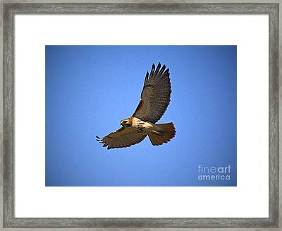 Red Tail Hawk Framed Print by Robert Pearson