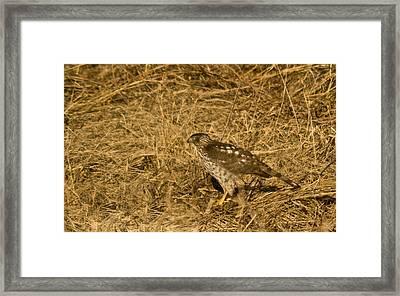 Red Tail Hawk Walking Framed Print by Douglas Barnett