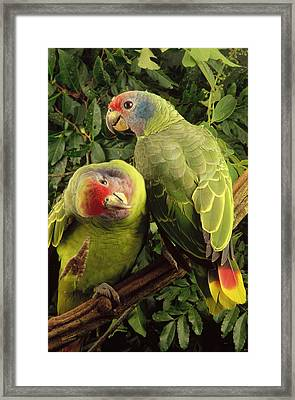 Red-tailed Amazon Amazona Brasiliensis Framed Print by Claus Meyer