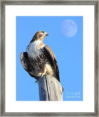 Red Tailed Hawk And Moon Framed Print by Wingsdomain Art and Photography