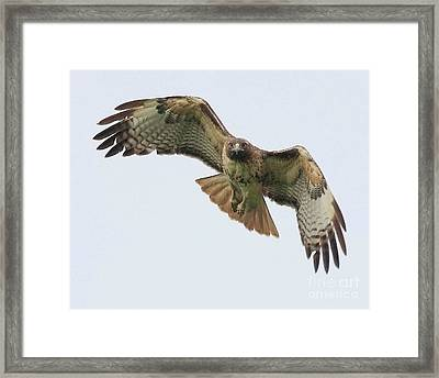 Red Tailed Hawk Finds Its Prey Framed Print by Wingsdomain Art and Photography