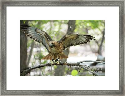 Red-tailed Hawk  Framed Print by Juli Scalzi
