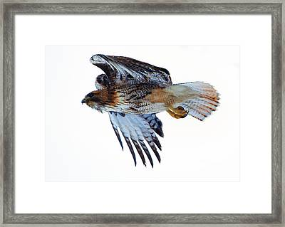 Red-tailed Hawk Winter Flight Framed Print by Mike Dawson