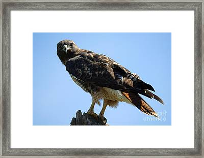 Red-tailed Stare Framed Print by Mike Dawson
