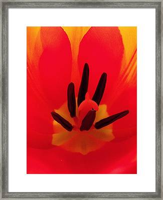 Red Tulip Framed Print by Anna Villarreal Garbis