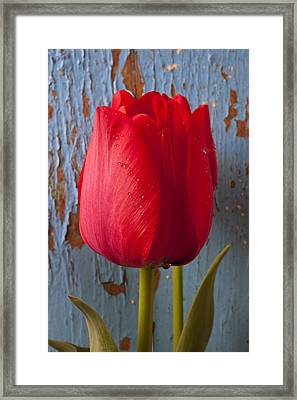 Red Tulip Framed Print by Garry Gay
