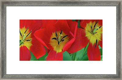 Red Tulip Trio Framed Print by Ben and Raisa Gertsberg