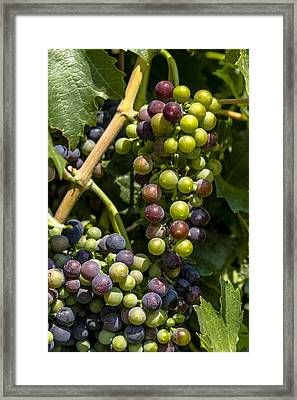 Red Wine Grape Colors In The Sun Framed Print by Teri Virbickis
