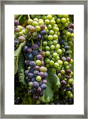 Red Wine Grapes In The Vineyard Framed Print by Teri Virbickis