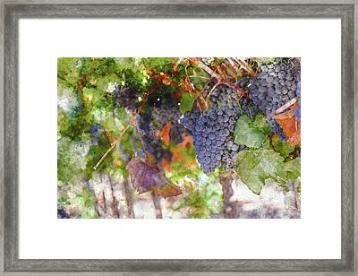 Red Wine Grapes On The Vine In Wine Country Framed Print by Brandon Bourdages