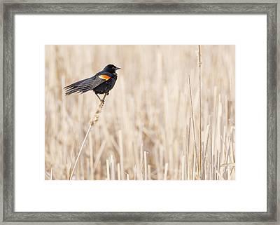 Red-winged Blackbird In A Minnesota Wetland Framed Print by Jim Hughes