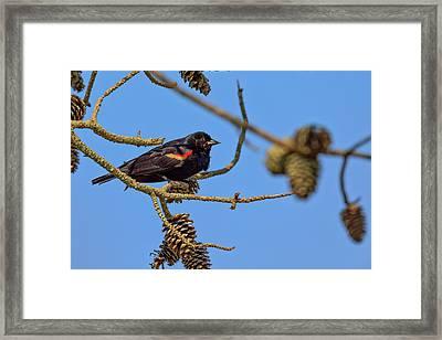 Red-winged Blackbird  Framed Print by Rick Berk