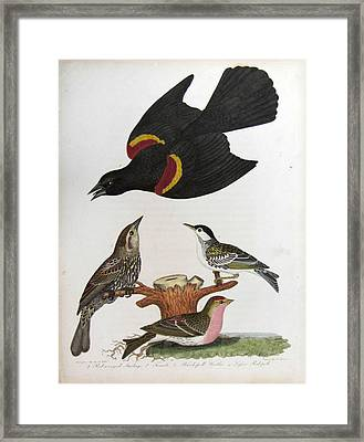 Red Winged Starling Black Poll Warbler Lesser Red Poll Framed Print by Alexander Wilson