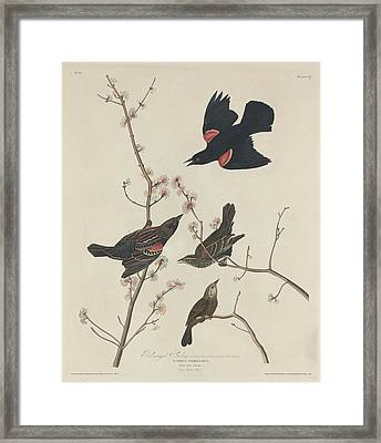 Red-winged Starling Framed Print by John James Audubon