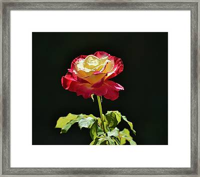 Red Yellow Rose IIi Framed Print by Linda Brody