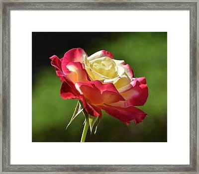 Red Yellow Rose Macro Framed Print by Linda Brody