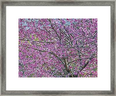 Redbud Tree Framed Print by Nadi Spencer