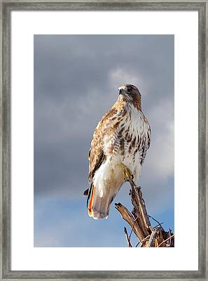Redtail Portrait Framed Print by Bill Wakeley