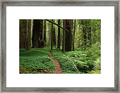 Redwood Forest Path Framed Print by Melany Sarafis