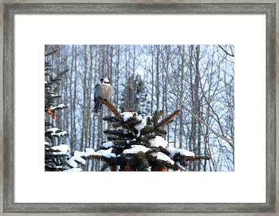 Refined Little Gray Jay In Colorado Framed Print by Carol M Highsmith