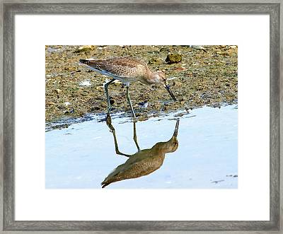 Reflecting On A Willet Framed Print by Kala King