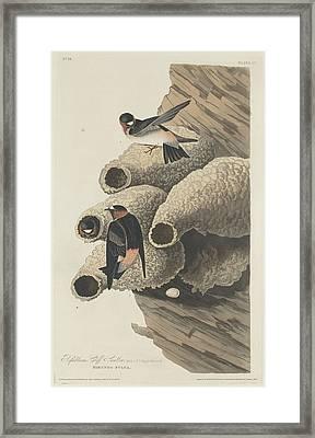 Republican Cliff Swallow Framed Print by John James Audubon