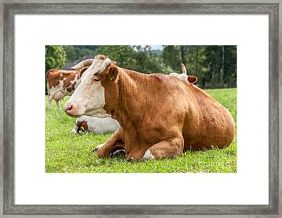 Resting Brown Cow Framed Print by Martin Capek