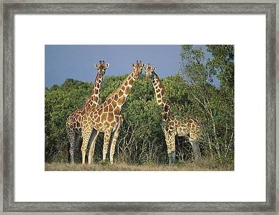 Reticulated Giraffe Trio Framed Print by Kevin Schafer